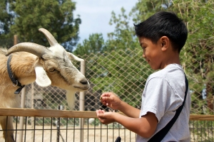 Andre Carino, a second grader, enjoyed feeding the goats and all the other animals inside the Children's Park at CALM as the park celebrated Spring Fling on Apr. 18, 2014.