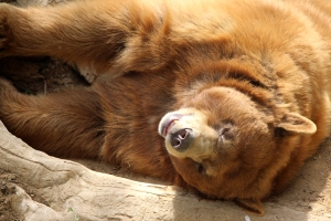 Cinnamon, one of the black bears at CALM, wakes up to say hi to the park visitors for spring fling on Apr. 18, 2014.